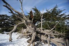 (Marwanhaddad) Tags: cedars snow lebanon forest