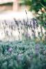 Jerusalem, Israel. Summer 2017 (summernothere) Tags: summer travel israel lavender nature