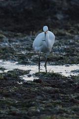 IMG_2880 (armadil) Tags: mavericks beach beaches californiabeaches bird birds egret snowyegret