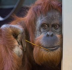 The thinking OrangUtan (muman71) Tags: dscf0603 wilhelma zoo orangutan stuttgart fuji fujinon18135 2018 flickrtreffen2018jan14 iso6400 100mm f56 135sec xt2
