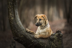 Beautiful Maisie (Paul`s dog photography) Tags: rescuedog portrait canon5dmkiv ef135mmf2lusm