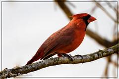 Cardinal (photosbylag) Tags: circleb alligators cardinal greenheron hogs piglets
