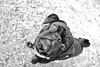 Shiva (PJ_Weiss) Tags: dog pug mops pet cute tier haustier wuff schwarz black white vogelperspektive