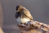 Black Phoebe II (lrobertg1) Tags: arizona birding birds herefordbridge