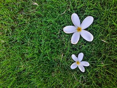 World of our own (ram mishra) Tags: flowers grass lawn morning nature whiteflower two