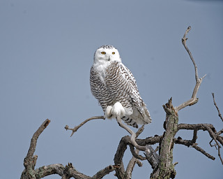 Snowy Owl On Gnarly Tree