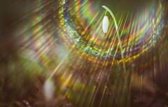 Aura (Dhina A) Tags: sony a7rii ilce7rm2 a7r2 enna werk münchen correlar 8cm f29 80mm correlar8cmf29 munchen german bubble bokeh triplet spring snowdrops lens flare