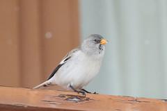 (White-winged) Snowfinch (montifringilla nivalis) (mrm27) Tags: snowfinch whitewingedsnowfinch montifringilla montifringillanivalis lamongie hautespyrenees france