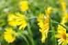 Sunny day (master Doratan) Tags: doronicum flower may spring yellow