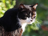 Felix black-cat (arjuna_zbycho) Tags: felix blackcat tuxedo tuxedocat kater hauskatze cat animal cute animals pets gato kitten feline kitty kittens pet tier haustier katzen gattini gatto chat cats