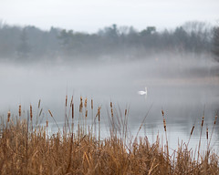 Feeling the Thaw (Chancy Rendezvous) Tags: fog weather swan pond lake water park institutepark worcester massachusetts bird trees