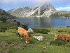 Lagos de Covadonga (efe Marimon) Tags: canoneos70d felixmarimon asturias cantábrico picosdeeuropa lagosdecovadonga vacas
