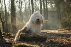 Shane (dewollewei) Tags: old english sheepdog oes bobtail dewollewei shane portrait 50mm canon 7d dog hund hond portret