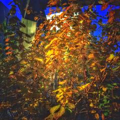 Colours of autumn 🍂 (LUMEN SCRIPT) Tags: leaves autumn square colours urbannature nature natural vivid colour color