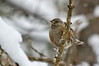 Petit bois derrière chez moi (Ariège) (PierreG_09) Tags: seix ariège pyrénées pirineos couserans hautsalat faune oiseau hiver neige accenteuralpin prunellacollaris alpineaccentor acentoralpino alpjärnsparv