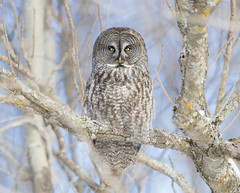 Portrait of a Great Gray (sfdonald) Tags: carabolapon chouettelapone greatgrayowl minnesota strixnebulosa owl