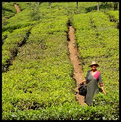 Tea Trails (Indianature st2i) Tags: valparai anamalais anamallais anamalaitigerreserve westernghats tea shola rainforest nature indianature 2018 january february tamilnadu india life wildlife plantation forest people estate