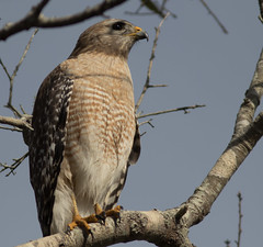 Red shouldered Hawk (schockenlinda) Tags: