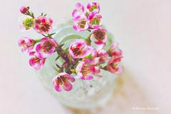 """In a Bottle"" for Macro Mondays (Monica Muzzioli) Tags: bottle flowers macro pink glass inabottle macromondays highkey"