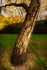 _MG_2801: The luminous tree (Peter ZZZ) Tags: autumn bark dramatic gallery golden grass heide heidemuseumofmodernart mwas museum nature outdoors sigma1020mmf456exdchsm sunrays sunset tree trunk