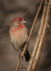 House Finch (Haemorhous mexicanus) (famasonjr) Tags: haemorhousmexicanus housefinch canon eos 7d canonef70300mmf456isiiusm wild wildlife nature outdoor backyard male ngc bokeh usa tennessee cordova finch red