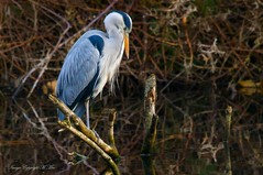 Eyes down.! ( Explored ) (nondesigner59) Tags: ardeacinerea greyheron bird wildlife nature watching perched birdwatching copyrightmmee eos7dmkii nondesigner nd59