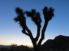 Joshua Tree NP in CA (Landscapes in The West) Tags: joshuatreenationalpark joshuatree california sw southwest mojavedesert mojave desert landscape
