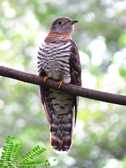 Indian Cuckoo (Nikita Hengbok) Tags: wildbirdsofsingapore birdsofsingapore birdphotography avianphotography fauna animals birds avian nature animalsofsingapore wildlifeofsingapore birdphotos birdpics wildlifephotos wildlifepics wildlifephotography naturephotography