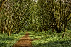 Verdure (*SanM.*) Tags: audighen france nordpasdecalais fôret verdure green woodlands wood forrest boulognesurmer batterietodt europe trees nature path