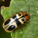 Leaf beetle, Arescus sp., Chrysomelidae thumbnail