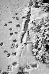 Perturbation féline (EloE64) Tags: neige ville charentemaritime noir et blanc nb snow blackwhite black white nikon d60