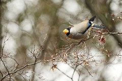 Japanese grosbeak (Teruhide Tomori) Tags: japanesegrosbeak nature bird kyoto japan wild 野鳥 イカル forest winter tree