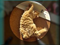 In the spotlight (Sandy Austin) Tags: panasoniclumixdmcfz70 sandyaustin massey westauckland auckland northisland newzealand cat mario sleeping