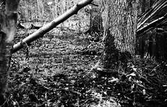 zorki 130118 (salparadise666) Tags: zorki 3m jupiter 8 orange filter agfa apx 400800 caffenol cl semistand 60min nils volkmer analogue film vintage rangefinder camera russian ussr fsu ukrainian sonnar type woods forest swamp contrast black white bw monochrome nature landscape detail hannover region niedersachsen germany