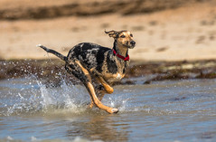 Walking on water :) (Paul`s dog photography) Tags: canon eos 5d mark iv ef70200mm f28l is ii usm happy rescue dog beach sea sand fun west littlehampton sussex