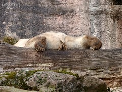 Vera - Charlotte - Eisbären - Tiergarten Nürnberg (ElaNuernberg) Tags: eisbärvera eisbärcharlottealiaslottchen eisbär nurembergzoo zoo zooanimals zootiere polarbear ijsbeer isbjorn ourspolaire orsopolare niedźwiedźpolarny jääkaru ursusmaritimus