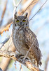 Great Horned Owl (Ed Sivon) Tags: america canon nature lasvegas wildlife wild western southwest desert clarkcounty clark vegas bird birdofprey henderson nevada park