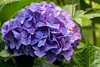 flying in (sal tinoco) Tags: hydrangea bee flower nature fantasticflower purple light flora floral
