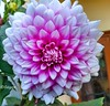 Flower 🌿 (gagan_bisen) Tags: nature flowers flower pink white india winter home