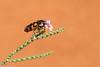 Jewel Beetle (BenParkhurst) Tags: pattern sharkbay outback benparkhurst jewelbeetle buprestidae outdoor orange animal hamelinstation westernaustralia beetle myrtaceae flower blue pinkgreen colour 2017 fauna wa australia invertebrate