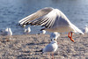 Gullscape! (tanyalinskey) Tags: wings flight action lakescape landscape water birds bird gulls gull