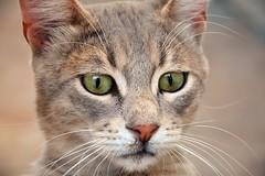 Sweet face (elka.) Tags: cat kot neko nature animal katze chat feline face cats katte katt kotek gata gatta gatti γάτα кошка кошки котка