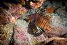 Ultimate Reef Predator (RoamingTogether) Tags: diving florida floridakeys ikelite ikeliteds51 keylargo lionfish nikon nikon181053556 nikond300 pennekampstatepark pterois scuba scubadiving snapperledge watersports