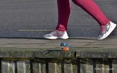 Kingfisher - Hertfordshire (Alan Woodgate) Tags: urban wildlife kingfisher