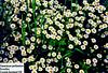 Tanacetum parthenium, Feverfew, Cornish farmland UK (helge20) Tags: tanacetum