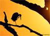 Limpkin in a Tree at Sunrise, Circle B Bar Reserve (alan jackman) Tags: jackmanjackman jazz bird birding nikon d7000 alanjackman tamron 150600mm circlebbarreserve circlebbar lakeland florida telephoto limpkin marshrabbitrun silhouette jackmanonjazz tree sunrise orange glow preeming