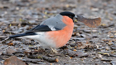 Bullfinch (image 1 of 3) (Full Moon Images) Tags: barnwell country park wildlife nature bird male bullfinch sycamore seed eating feeding
