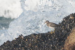 Surfbird, Point Pinos CA, 20180112-102.jpg (maholyoak) Tags: ca california pointpinos surfbird monterey