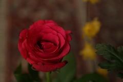 180124005 (murbozero) Tags: murbo japan flower