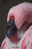 Lesser Flamingo (ToddLahman) Tags: lesserflamingo flamingo outdoors portrait beautiful pink white orange escondido eyelock africanloop sandiegozoosafaripark safaripark canon7dmkii canon canon100400 closeup